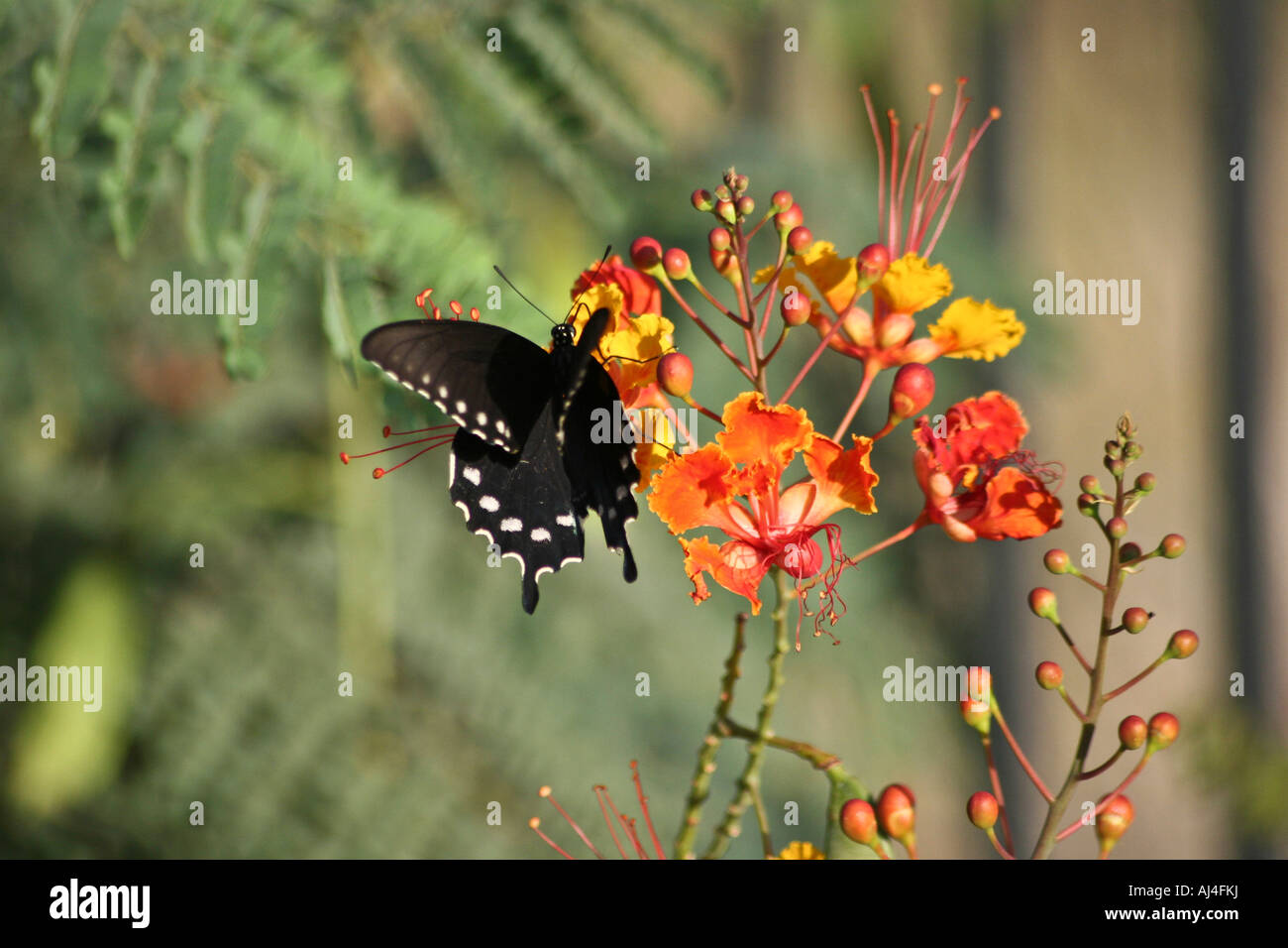 black butterfly on a mexican bird of paradise flower in the