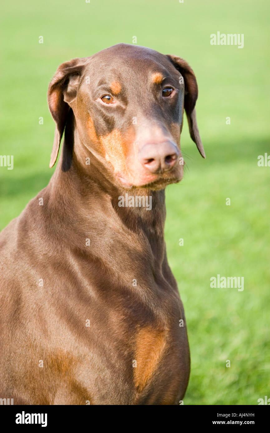 Brown Red Doberman Pinscher Stock Photo Royalty Free