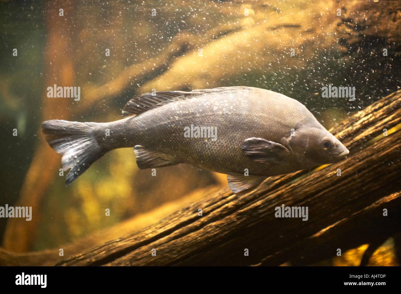 Freshwater fish in australia - Freshwater Fish In Sydney Aquarium Darling Harbour New South Wales Nsw Australia