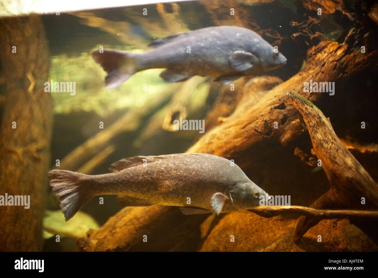 Freshwater fish in australia - Freshwater Fish In Sydney Aquarium Darling Harbour New South Wales Nsw Australia Stock Photo