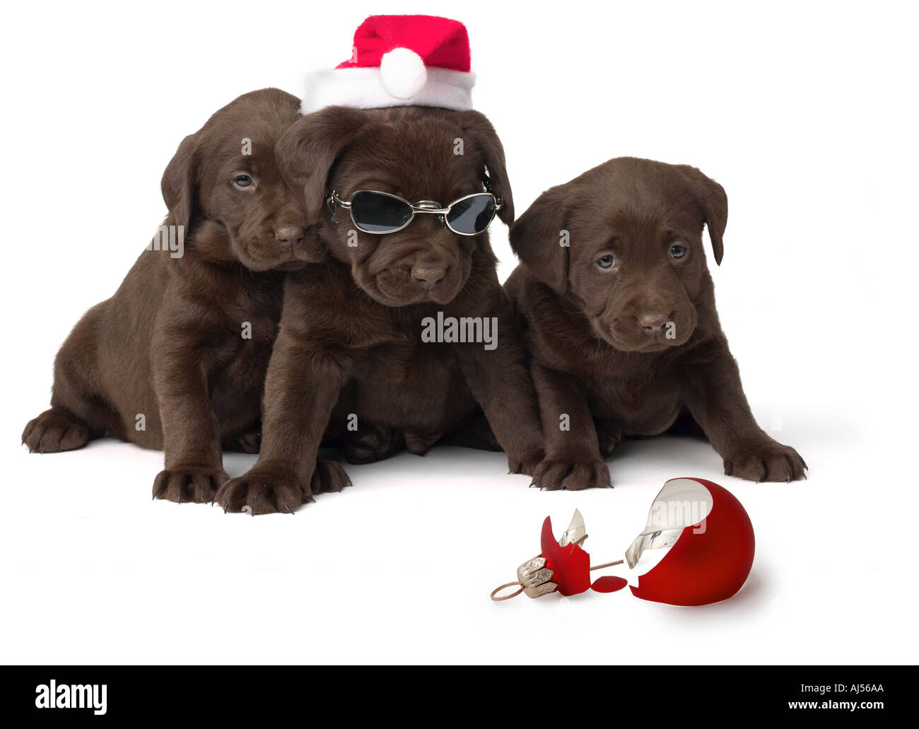 Chocolate Lab Puppies with Broken Christmas Ornament Stock Photo ...