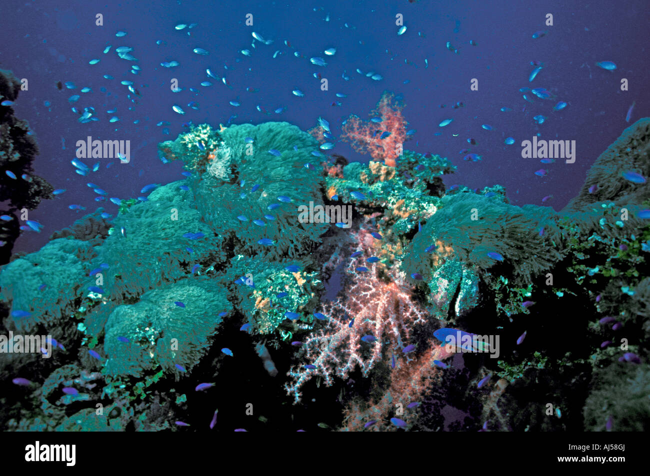 Stock photo coral reef red soft corals fish coral tentacles truk lagoon sport scuba diving underwater scenic landscape chuuk islands federat