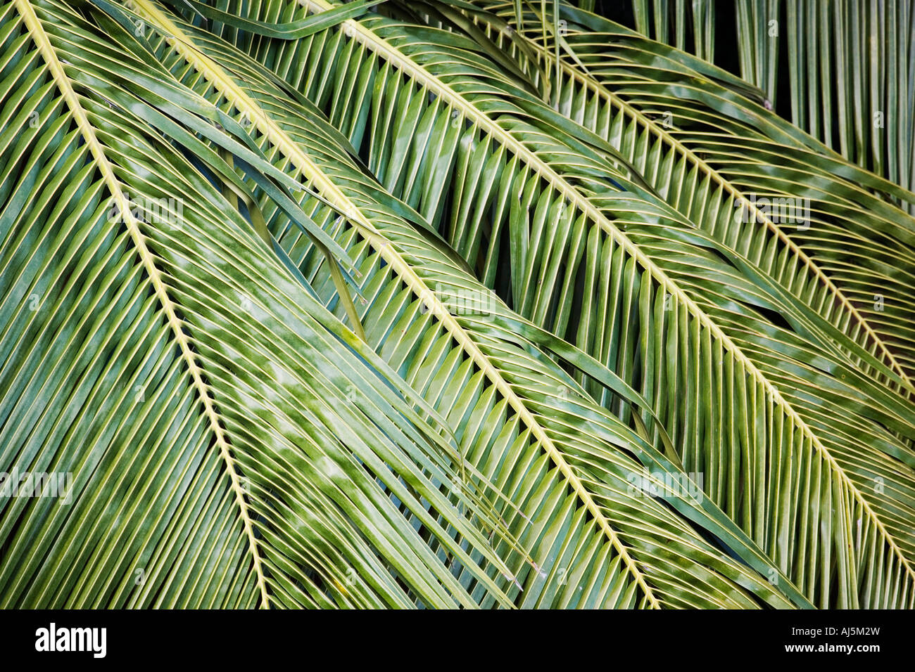 Coconut Tree Leaves | www.pixshark.com - Images Galleries ...
