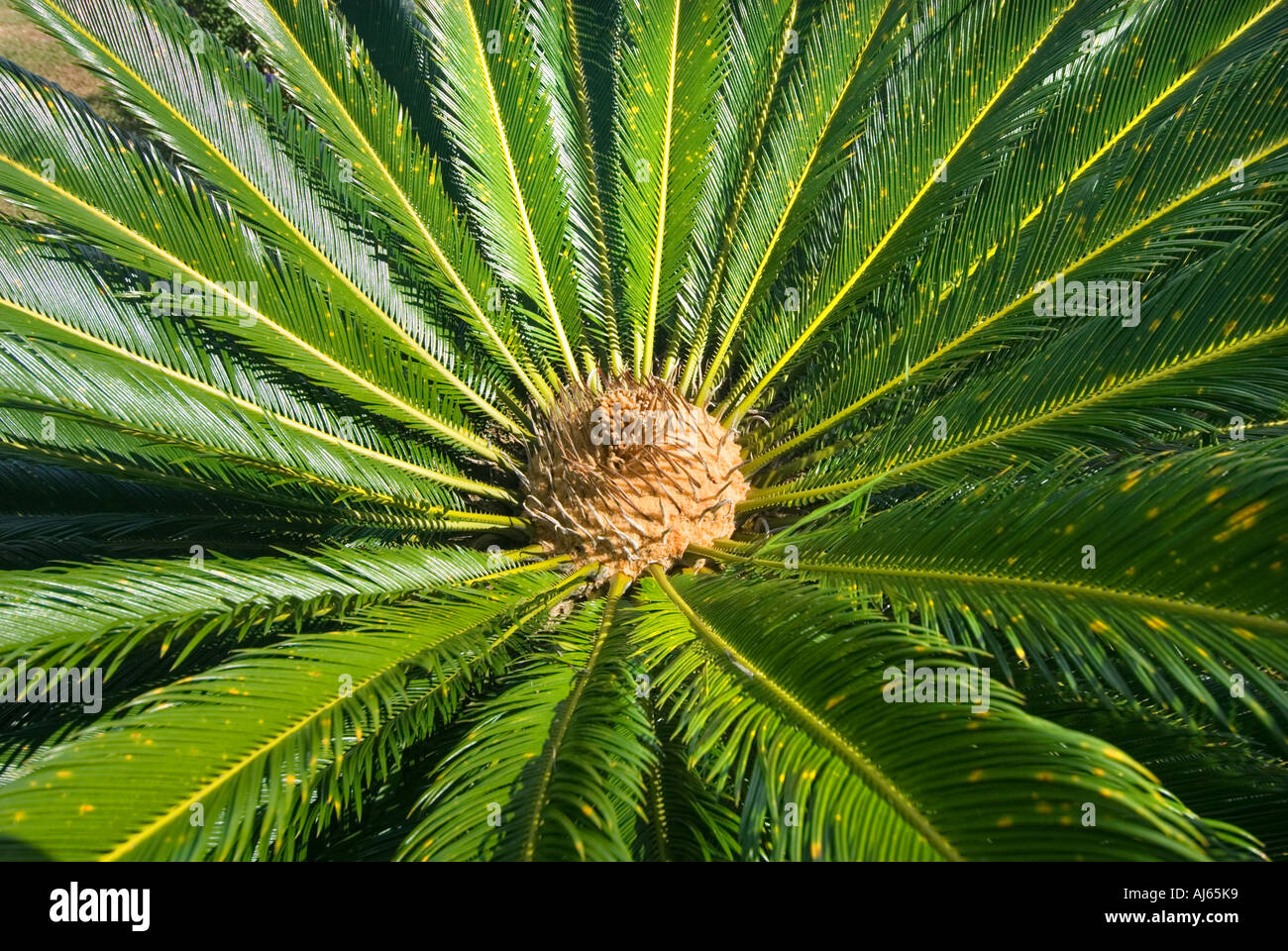 cycas revoluta palmfern fern palm tree cycadales. Black Bedroom Furniture Sets. Home Design Ideas
