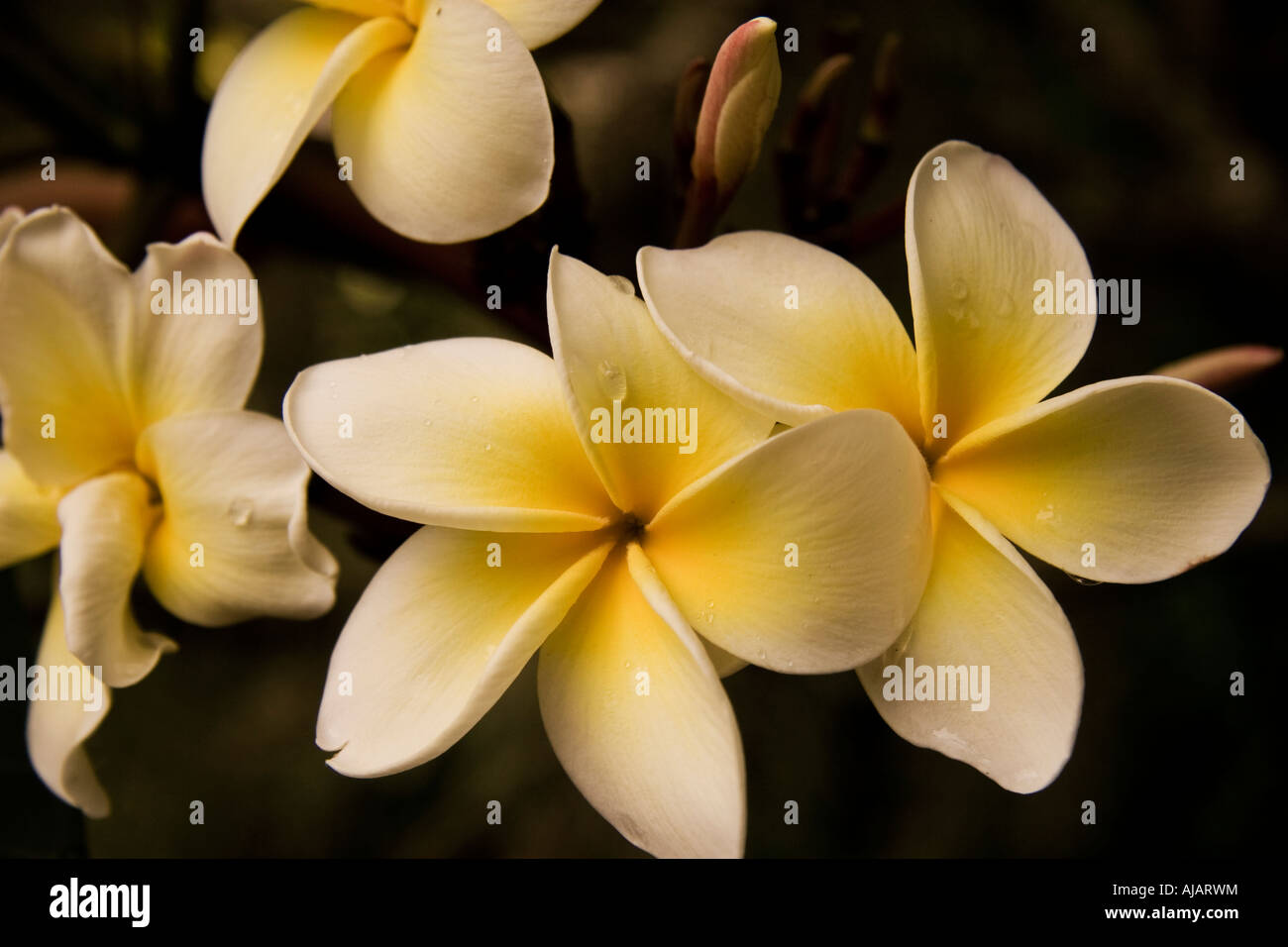 Dew drop on a hawaiian plumeria flower stock photo 14678239 alamy dew drop on a hawaiian plumeria flower izmirmasajfo Choice Image