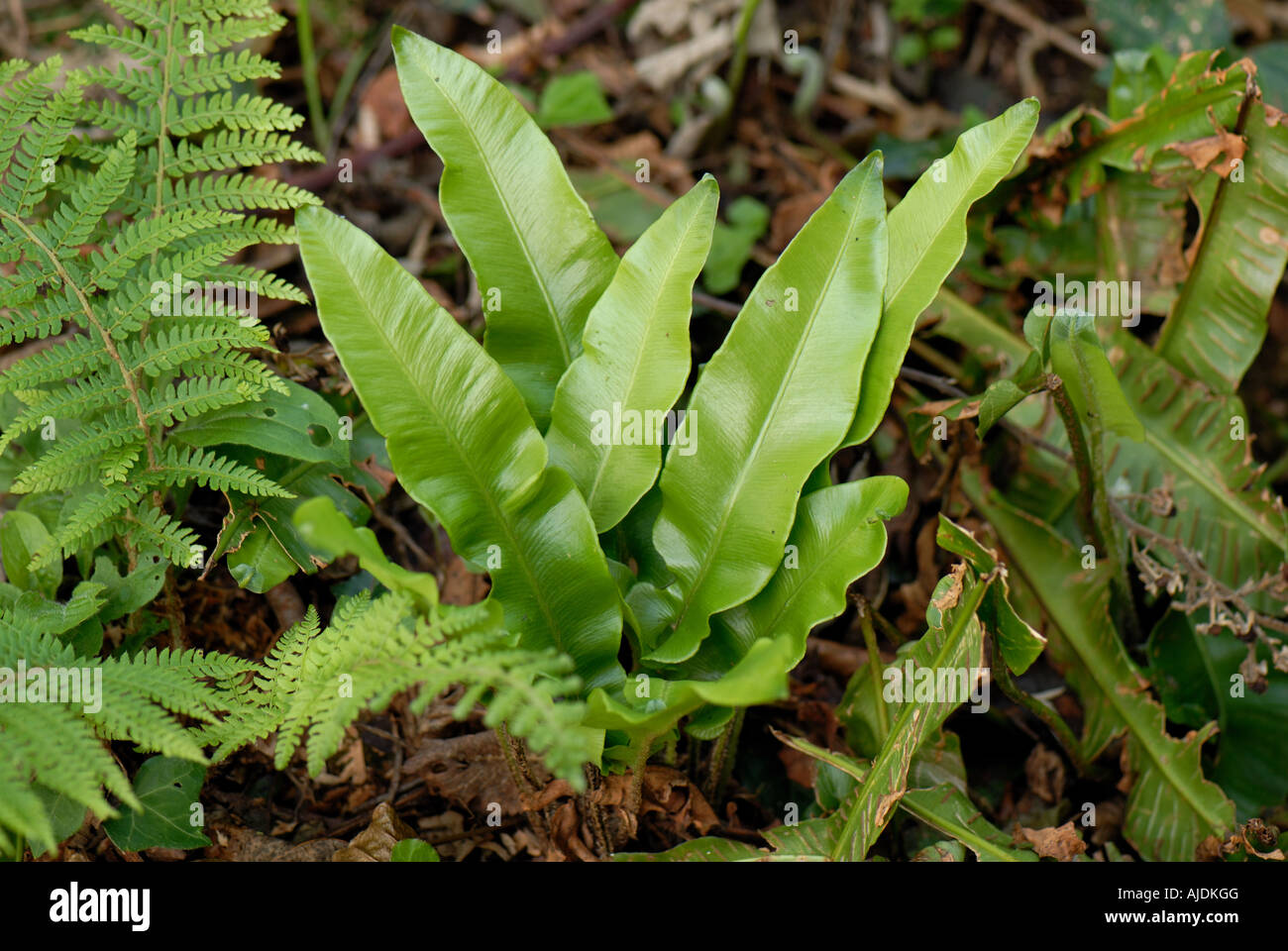 Harts tongue fern Asplenium scolopendrium plant with other ferns