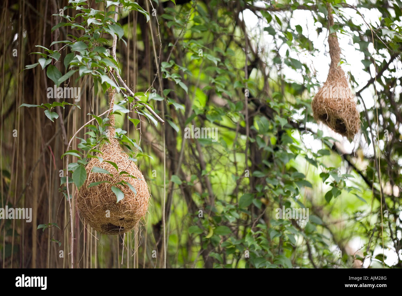 Weaver bird nest hanging from tree branch, Thailand Stock ...