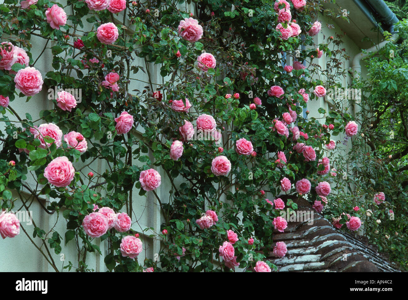 rosa constance spry shrub rose grown as a climber at. Black Bedroom Furniture Sets. Home Design Ideas