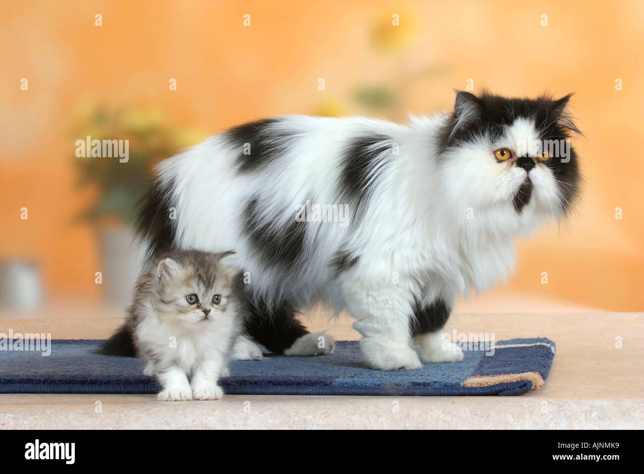 Persian Cat black white with kitten 6 weeks Perserkatze schwarz