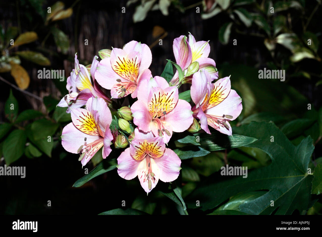 Peruvian lily chilean lily flower of the incas alstroemeria peruvian lily chilean lily flower of the incas alstroemeria izmirmasajfo Gallery