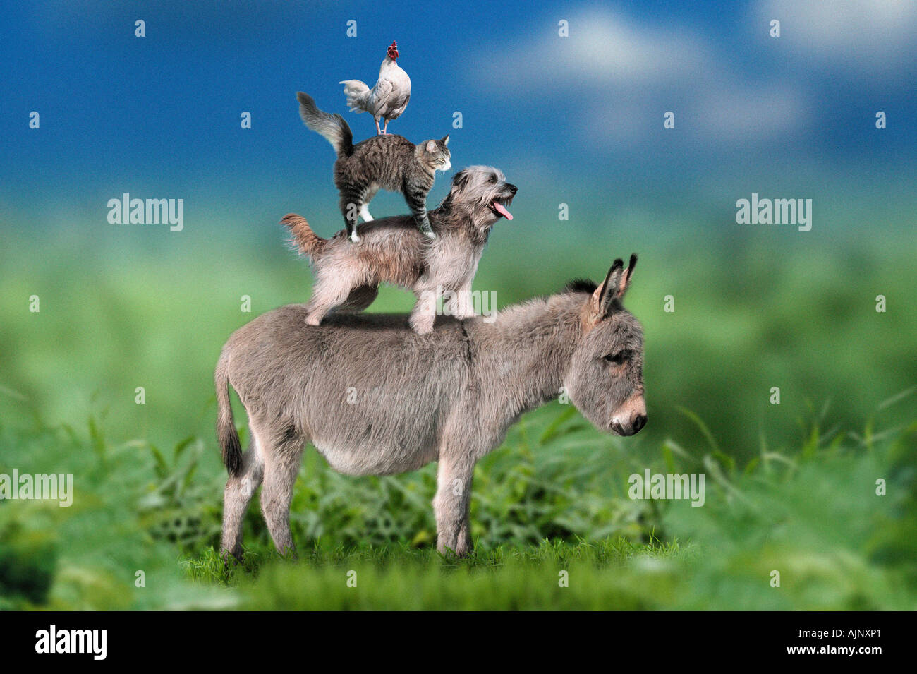 Rooster On A Cat On A Dog On A Donkey