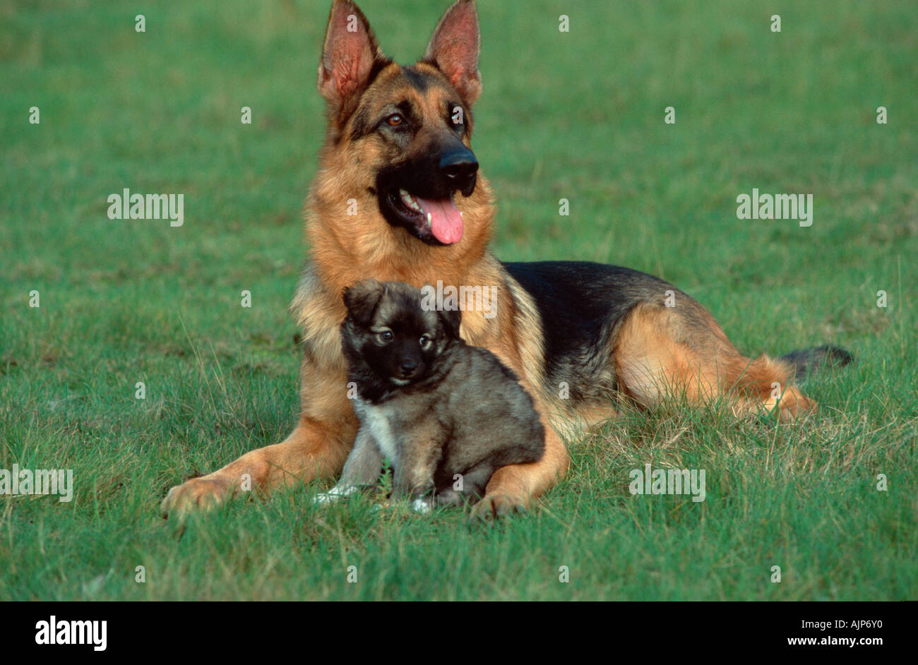 german-shepherd-dog-and-mixed-breed-pupp