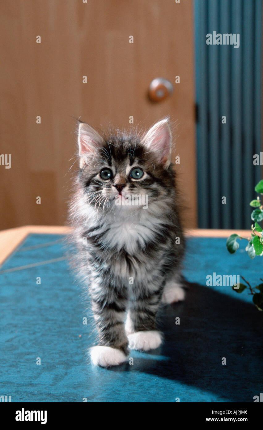 Black Tabby Cat Kittens