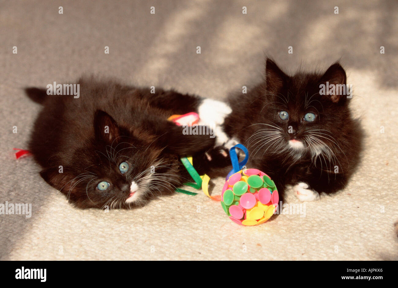 Norwegian Forest Cats kittens 8 weeks black with white with toy