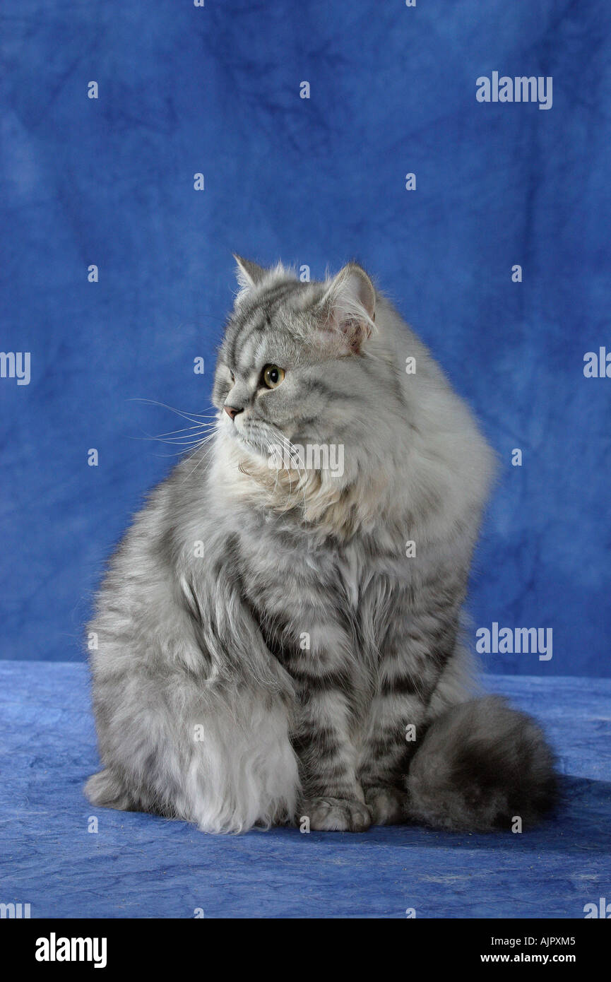 Persian Cat silver tabby Stock Royalty Free Image