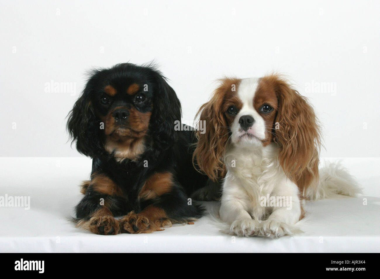 Cavalier King Charles Spaniel Black And Tan Show