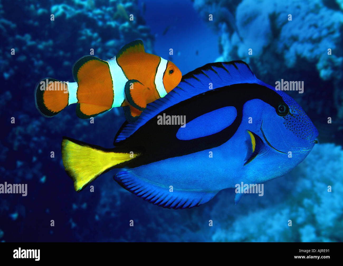 http://c8.alamy.com/comp/AJRE91/blue-tang-surgeonfish-with-clownfish-anemonefish-AJRE91.jpg