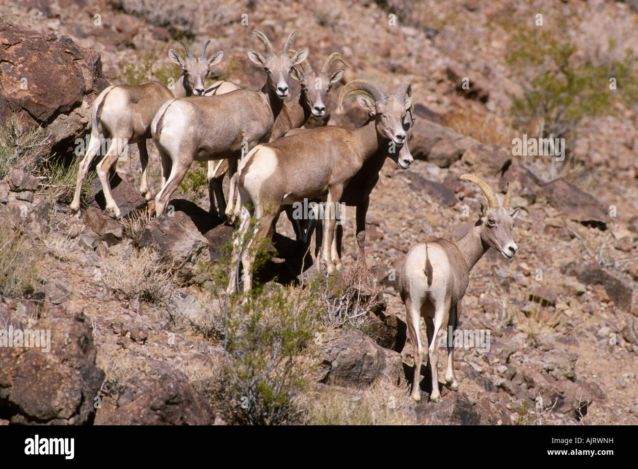 Desert Bighorn Sheep Herd Ovis Canadensis Nelsoni Stock