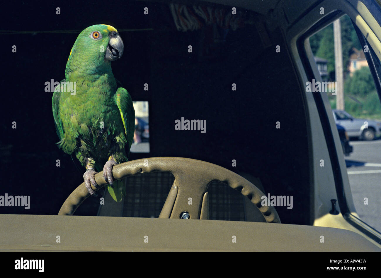 polly wants a crack at it parrot driving car stock photo