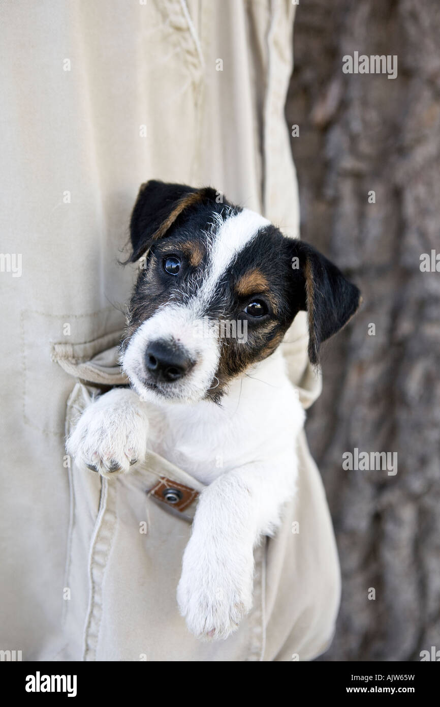 jack russell terrier black and white - photo #45