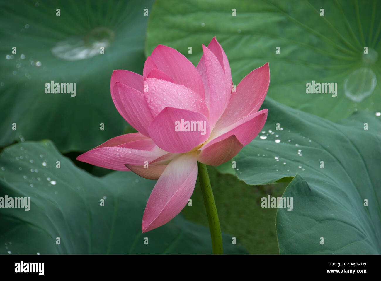 Blooming pink lotus flower in the july rain kunming peoples blooming pink lotus flower in the july rain kunming peoples republic of china dhlflorist Images