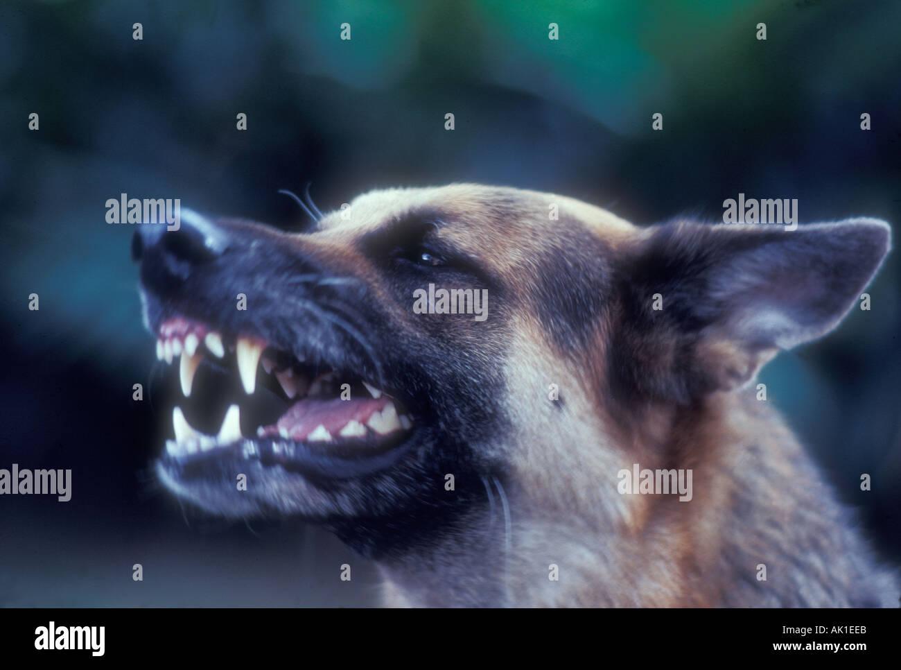german shepherd growling - photo #14