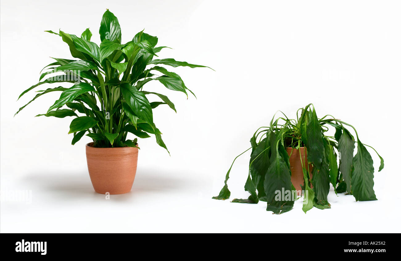 Image gallery healthy plant - Good flowering house plants ...