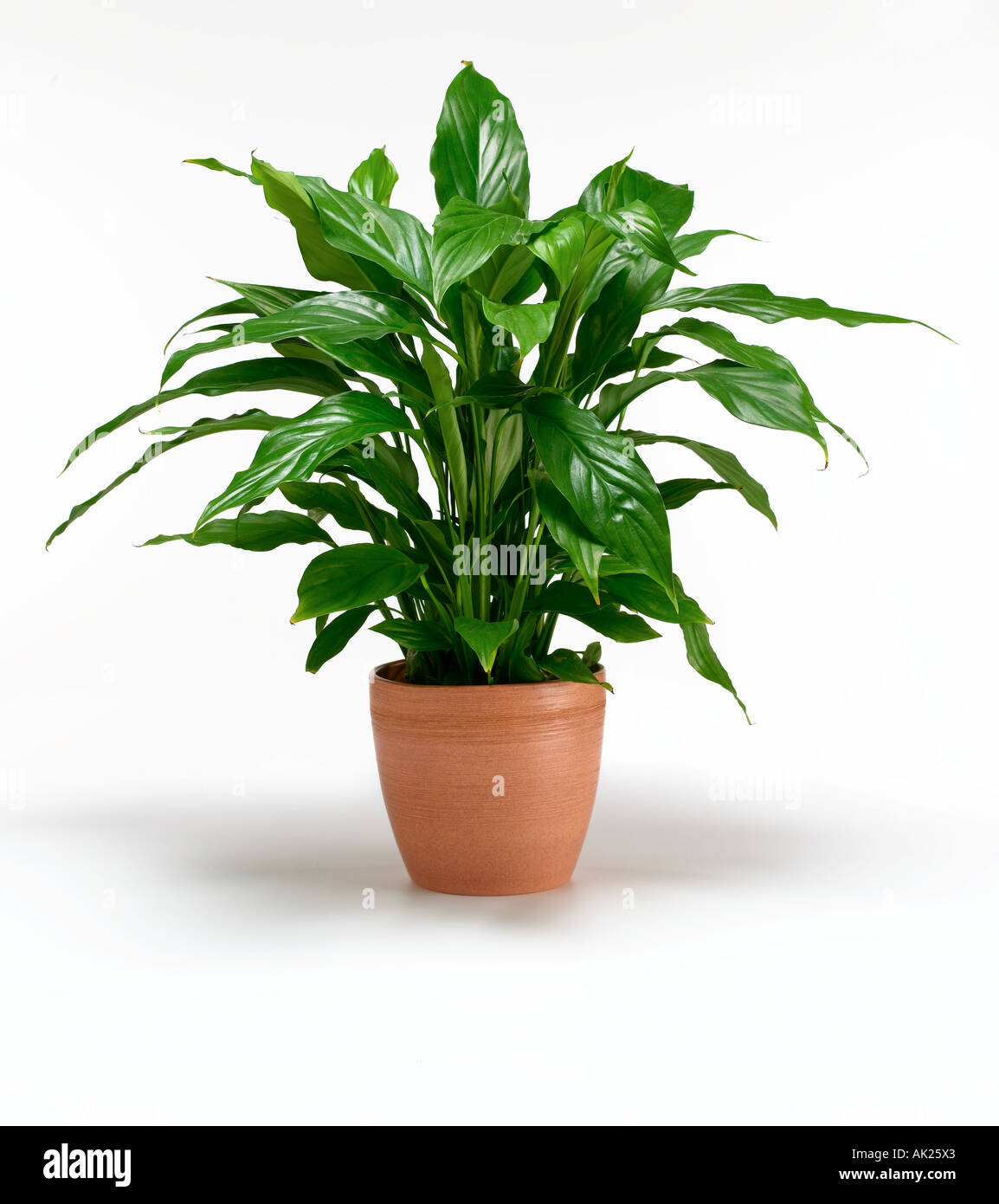 Healthy house plant stock photo royalty free image 8491618 alamy - Plants for every room in your home extra comfort and health ...