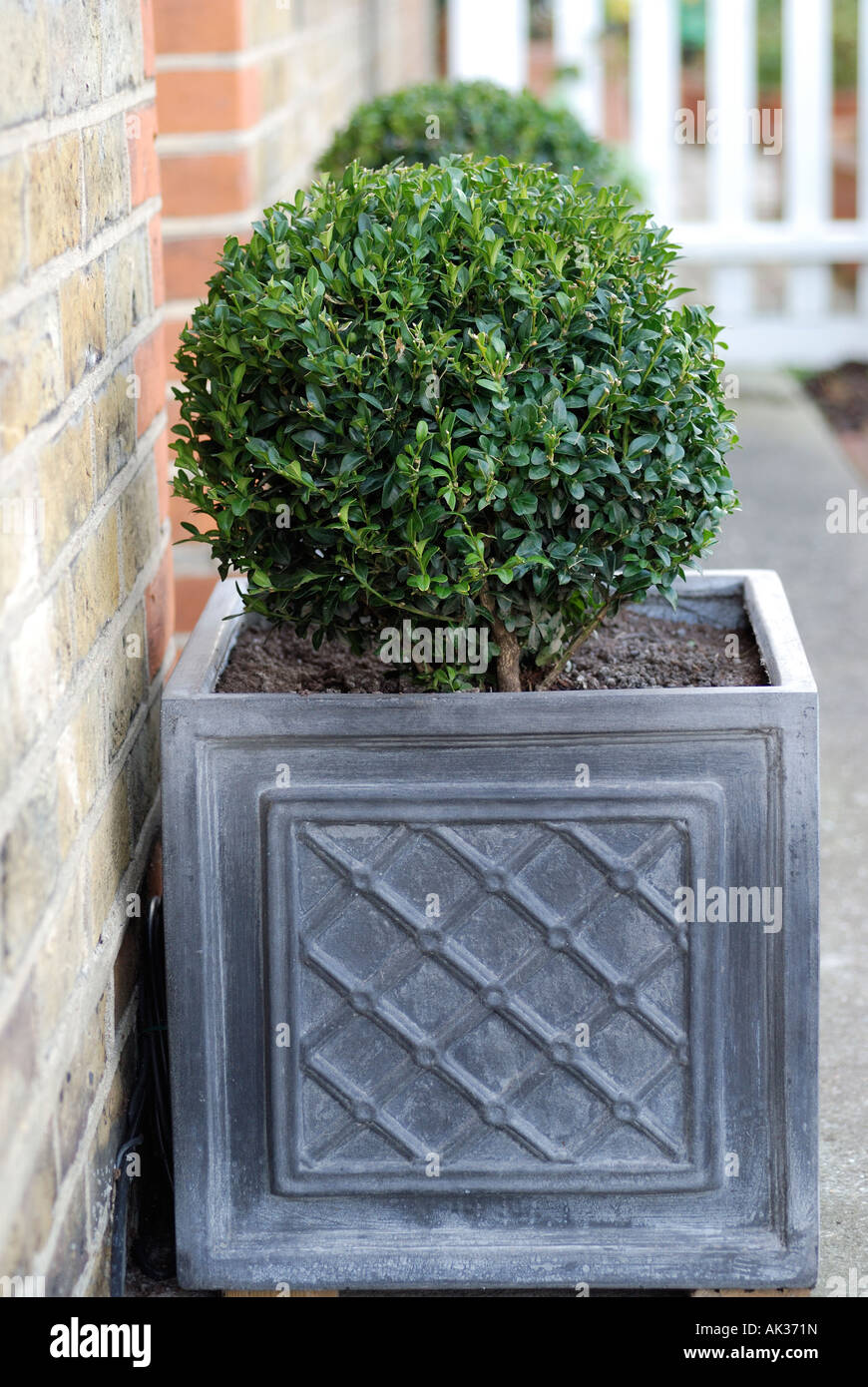 BUXUS PLANT IN GREY PLANTERS OUTSIDE FRONT DOOR OF HOUSE