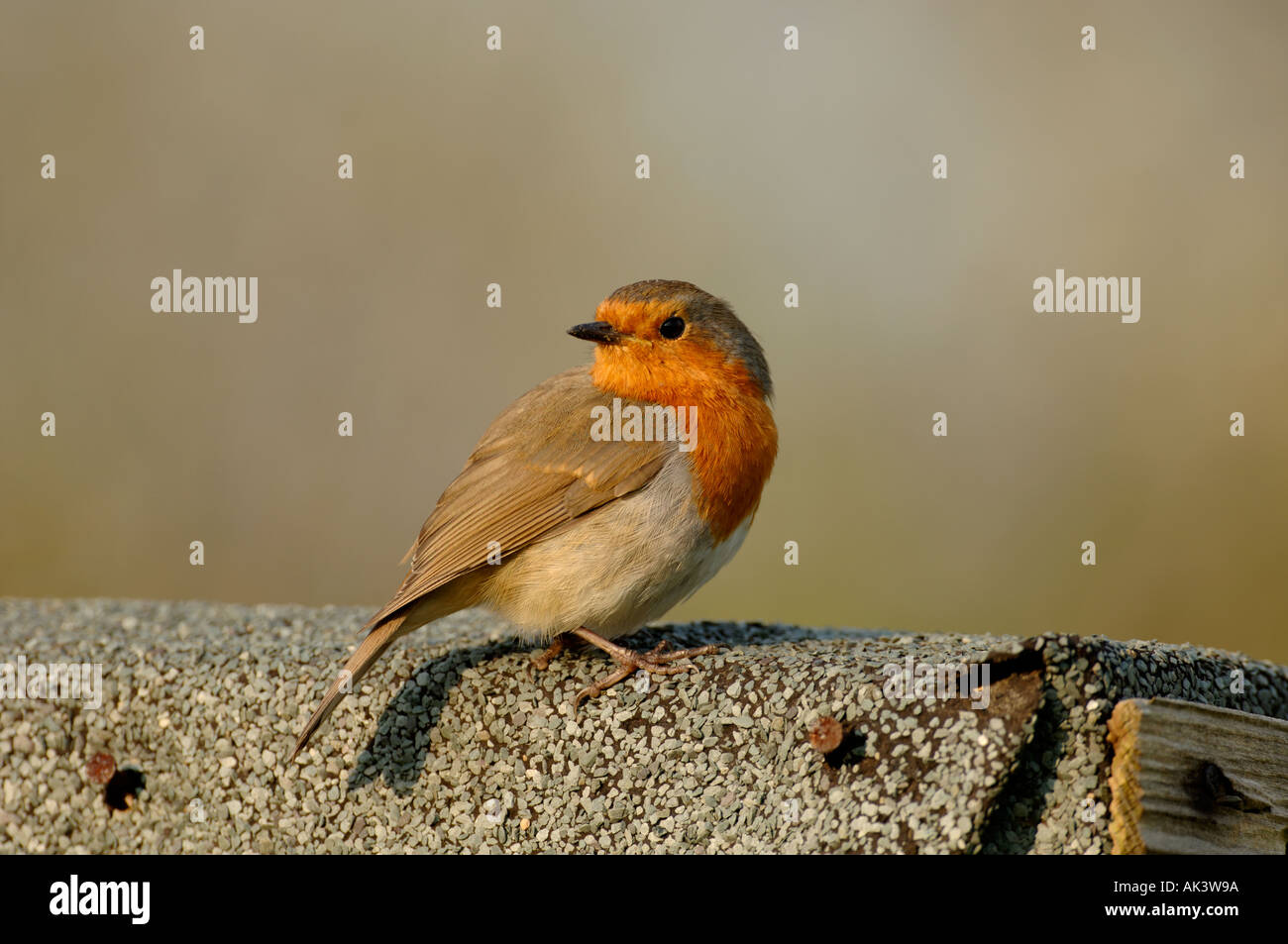 robin perched on roof of garden shed kent uk