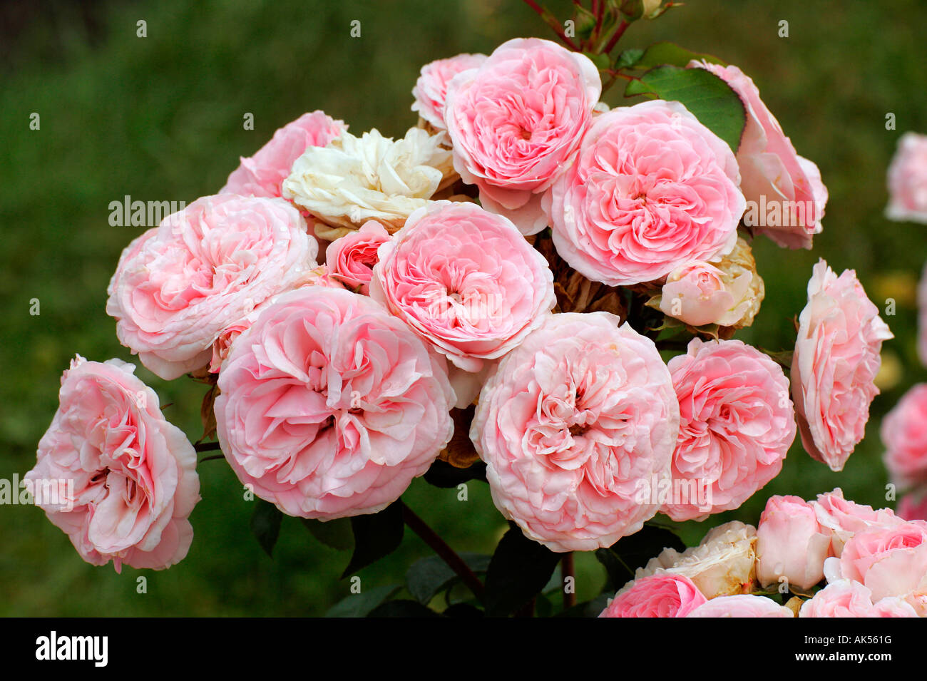 Roses In Garden: Rose 'maria Theresia' Stock Photo, Royalty Free Image