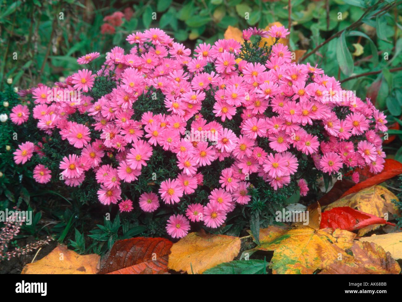 Gartenpflanzen  Bushy Aster Aster dumosus Kissenaster Blumen flowers ...
