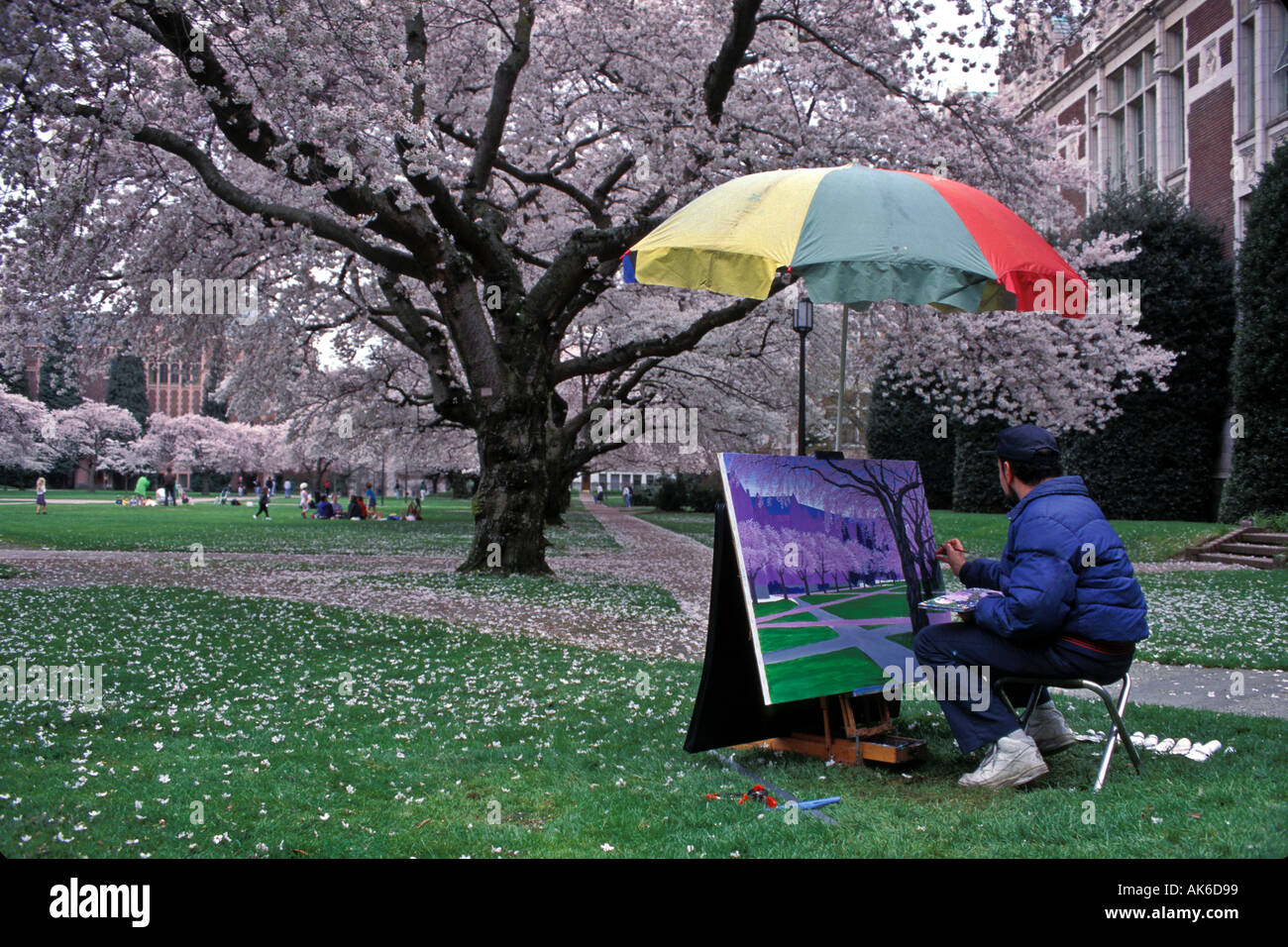 Artist Creates Spring Scenic Under Canopy Of Blossoming Cherry Trees On University Of Washington C&us Seattle Washington & Artist Creates Spring Scenic Under Canopy Of Blossoming Cherry ...