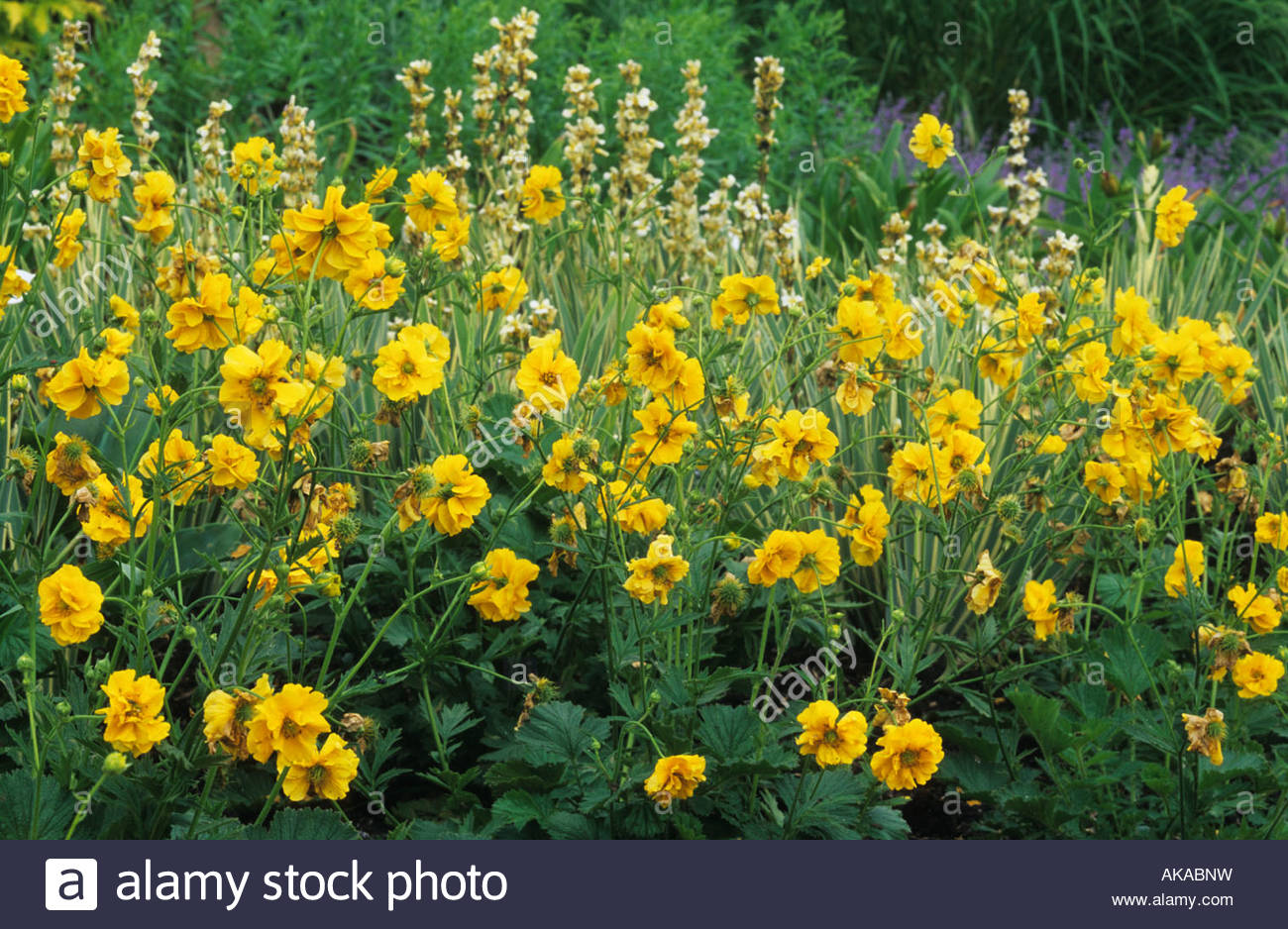 geum lady stratheden stock photo royalty free image 14937588   alamy