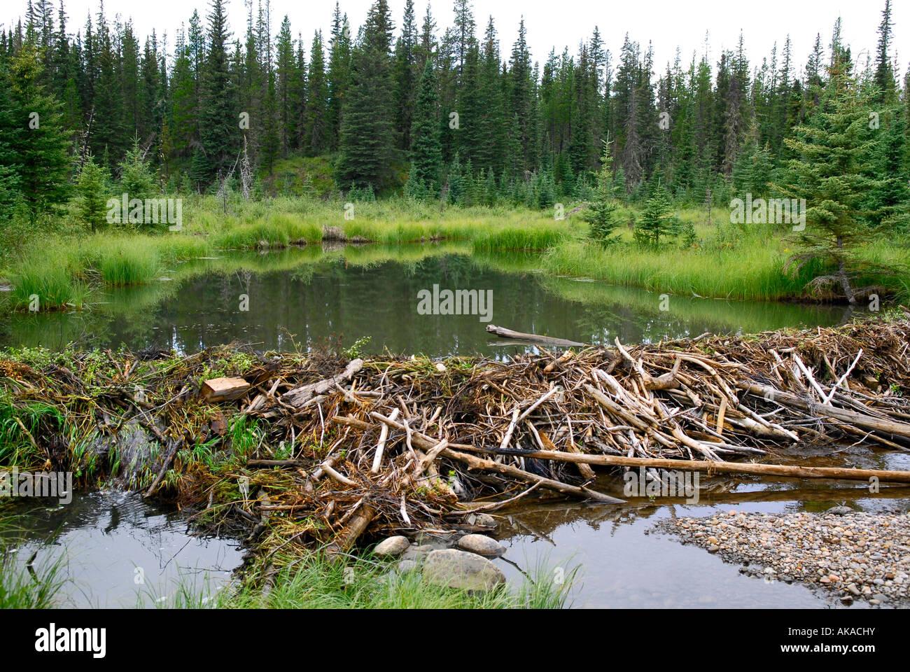 Beaver dam construction near hinton alberta canada for Castor habitat