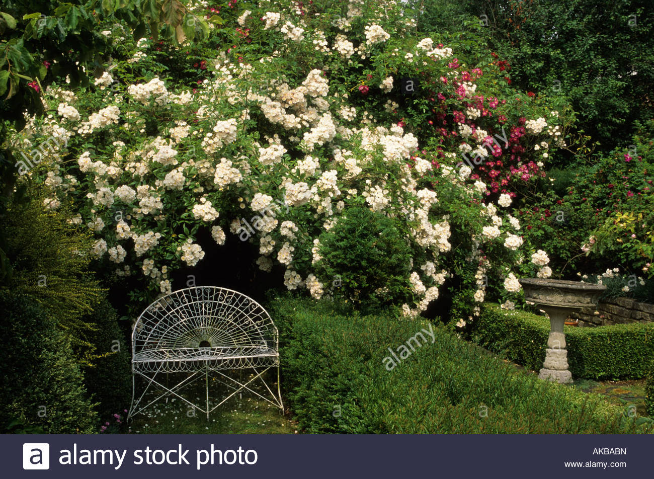 Alan Titchmarshu0027s Garden; Hampshire. Scented Garden. Climbing Roses With  Chamomile Path Boxwood Hedges; Rosa U0027Snowdriftu0027
