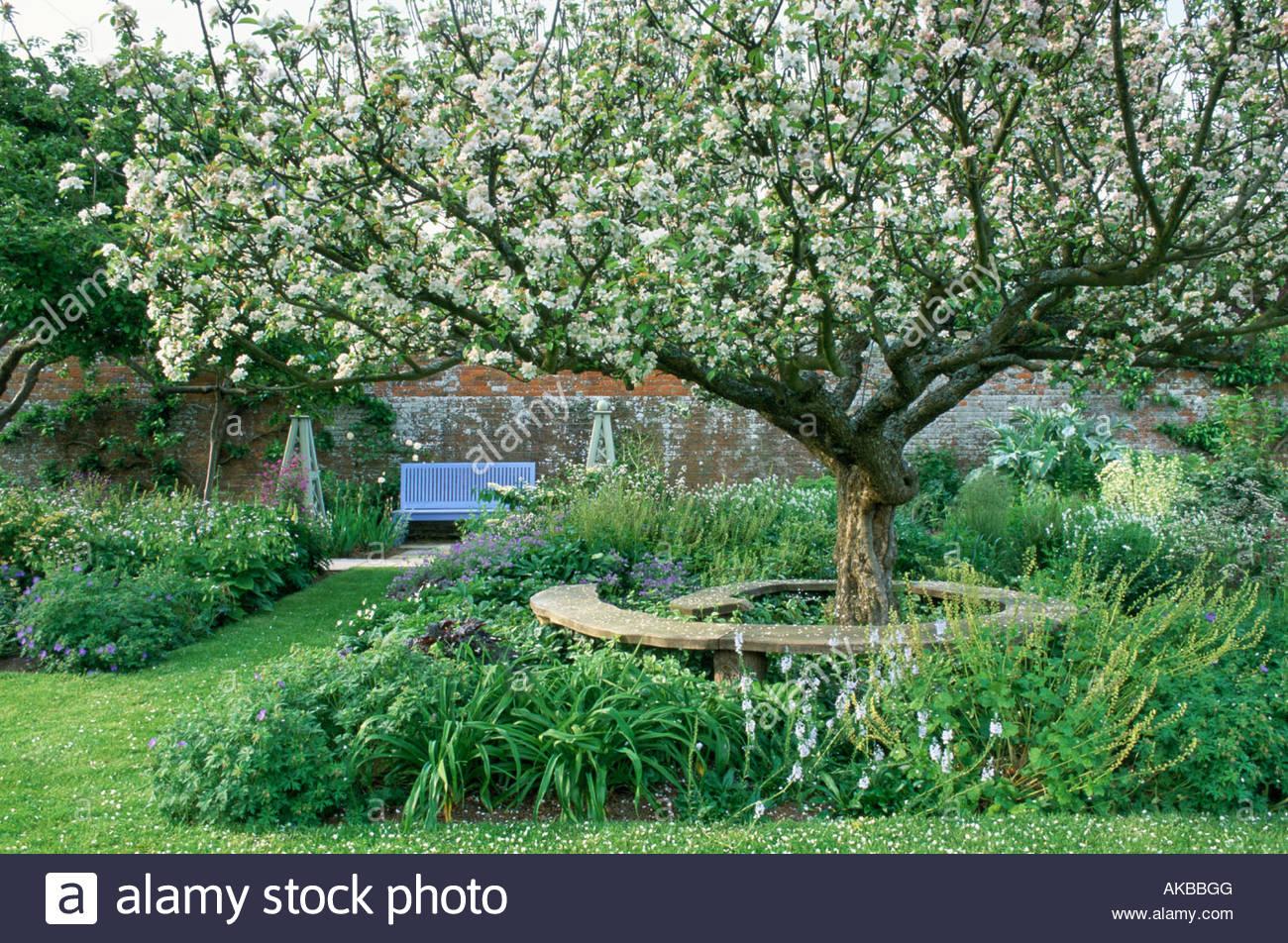 Private Garden Sussex Old Coxs Orange Pippin Apple Tree In Blossom Edible  Kitchen Garden Plant