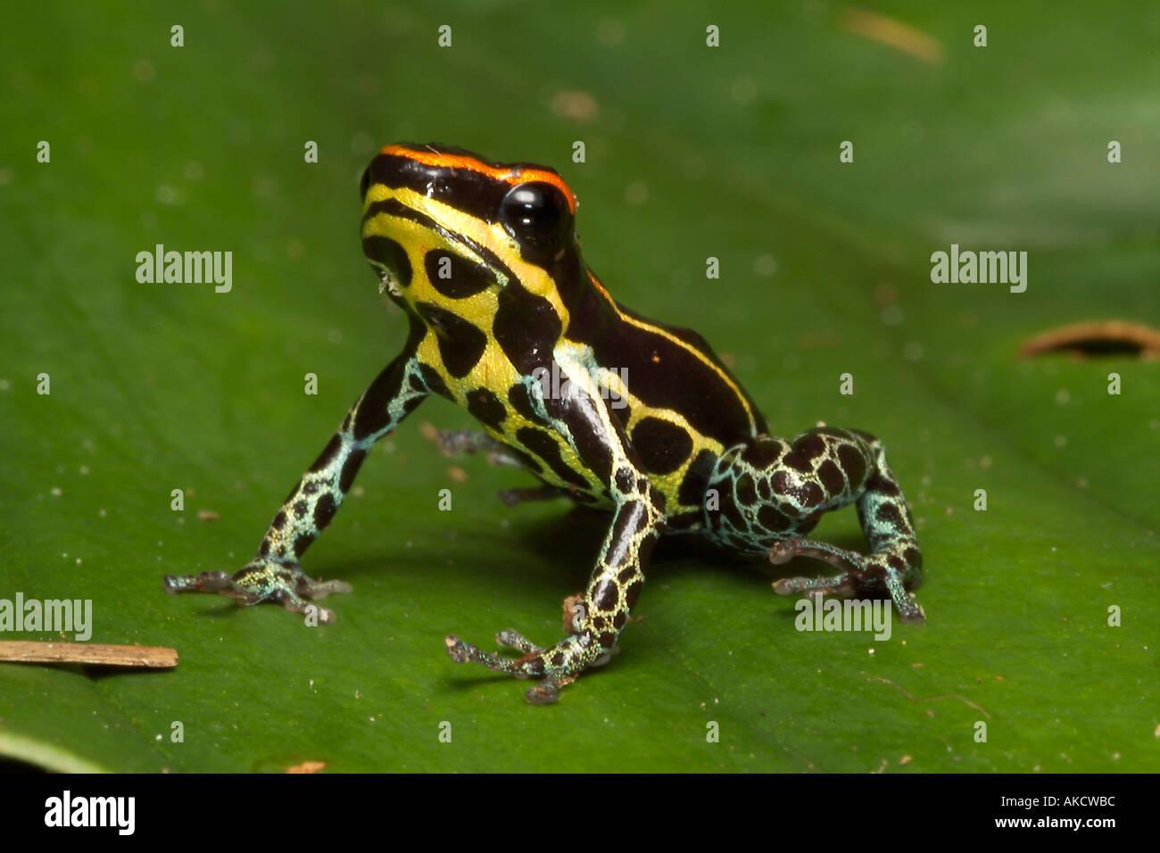 poison dart frog dendrobates duellmani lago preto conservation