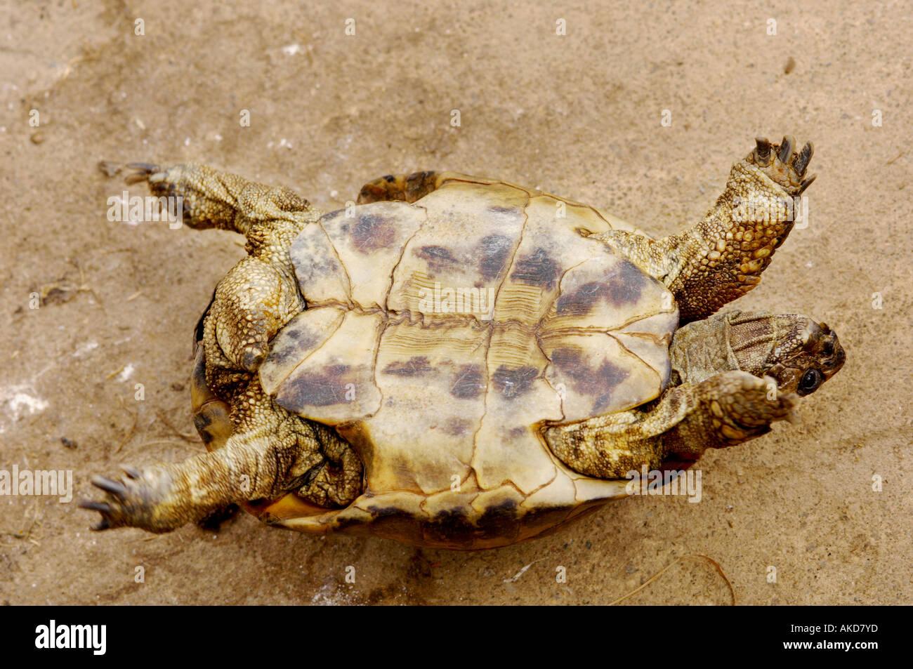 Warning turtles amp tortoises inc - Tortoise On Back Unable To Right Itself Stock Image