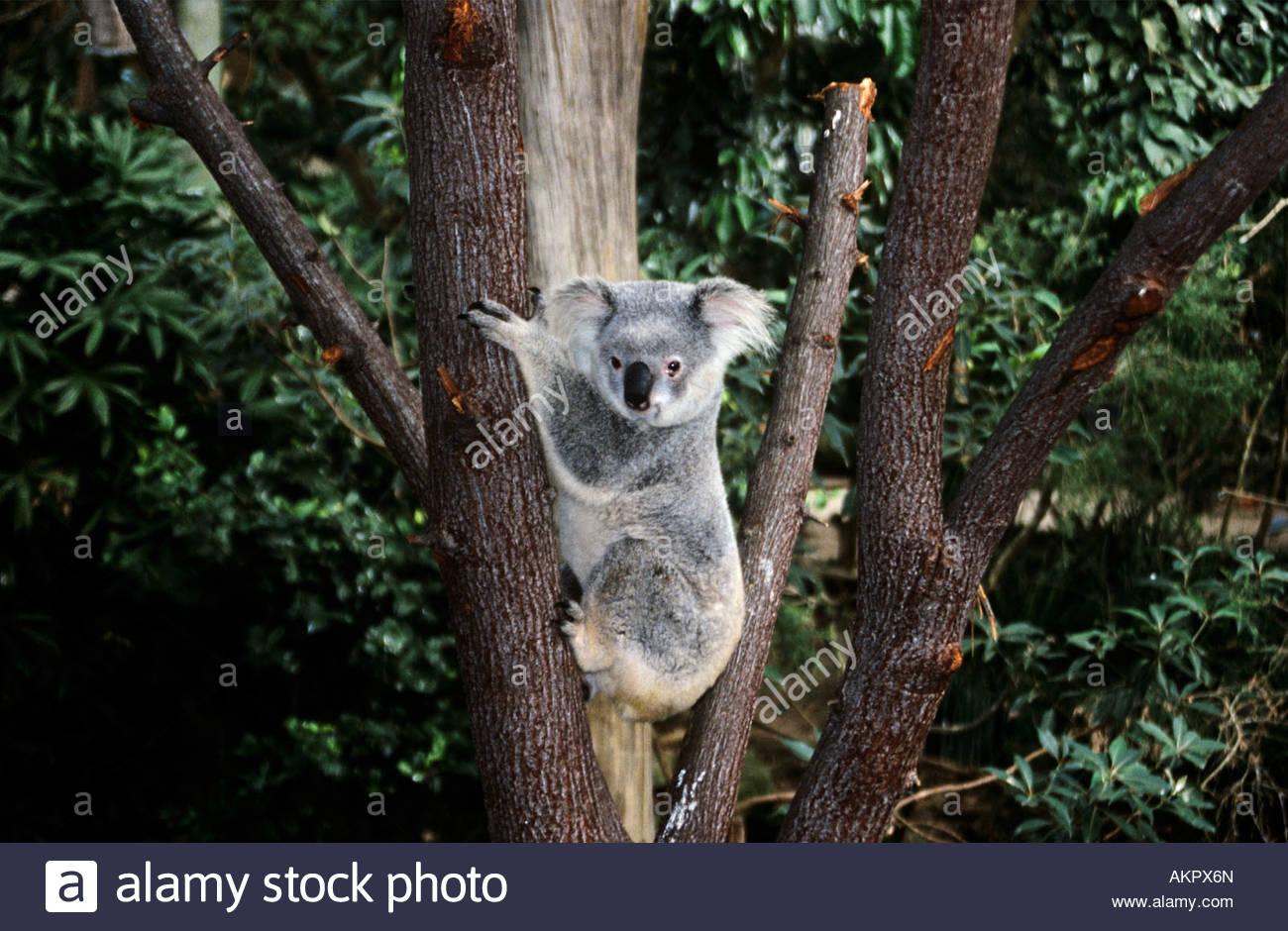 koala bear climbing a tree stock photo royalty free image