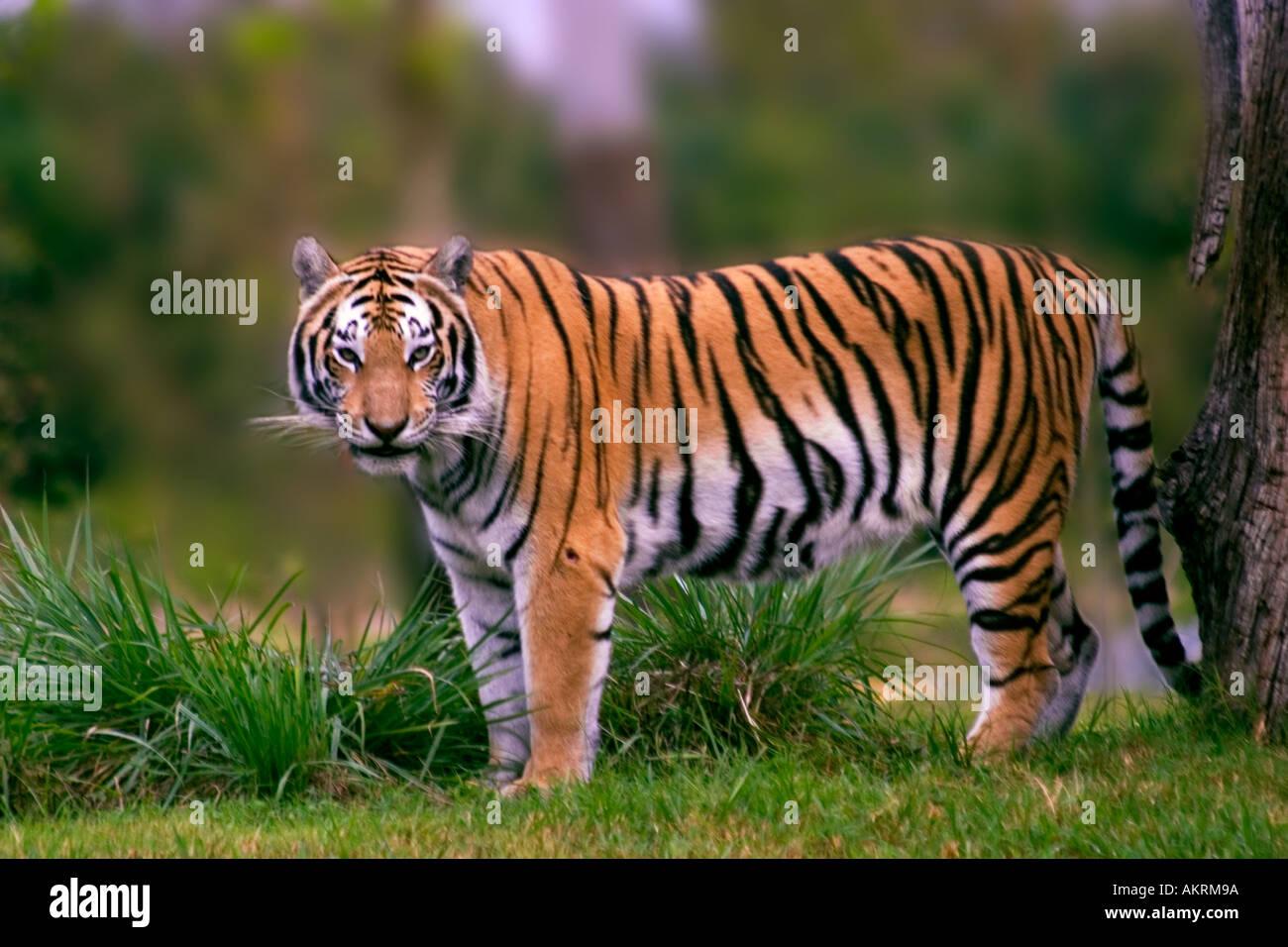 Bengal tiger Panthera tigris tigris standing in grass next to tree ...
