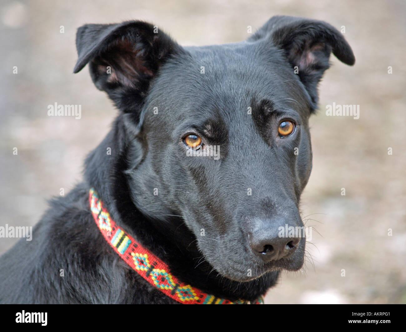 portrait black hybrid dog Labrador Border Collie mix is ...