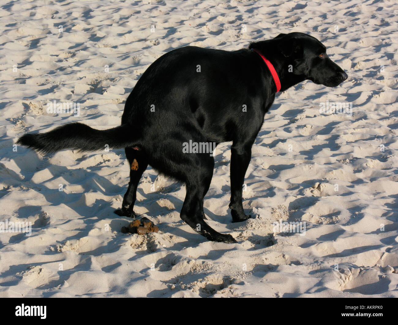 black hybrid dog Labrador Border Collie mix shitting on ...