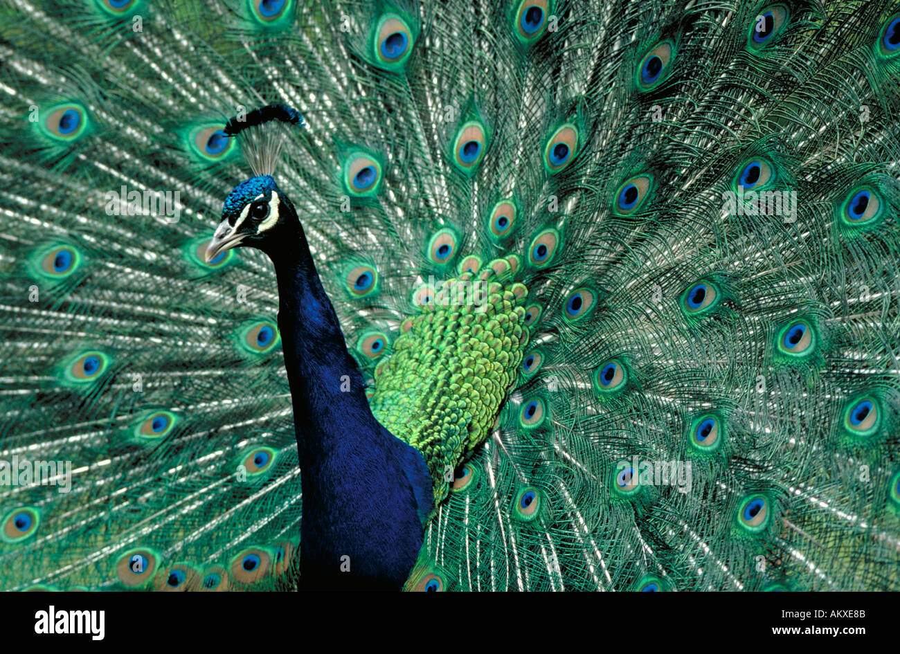 Colorful peacock tail