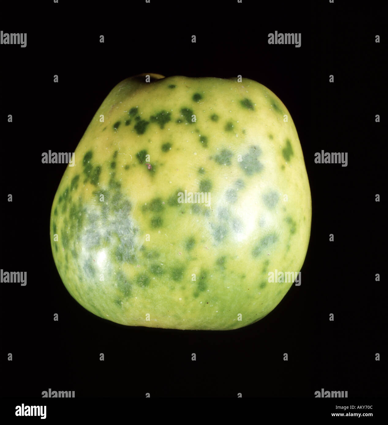 Calcium deficiency on apple Bitter pit showing markings on skin of ...
