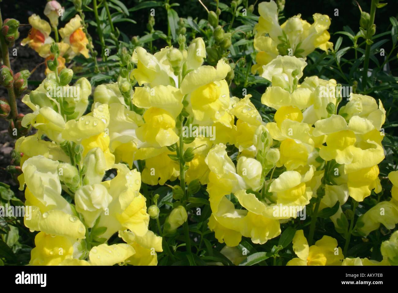 yellow flowers of annual summer flowering garden plant anthirrinum, Natural flower