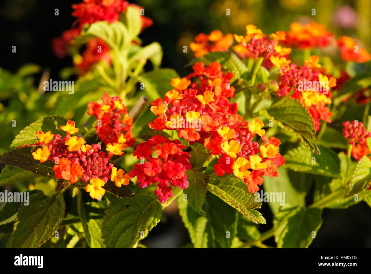 tropical lantana plant with splenid flowers lantna amata. Black Bedroom Furniture Sets. Home Design Ideas