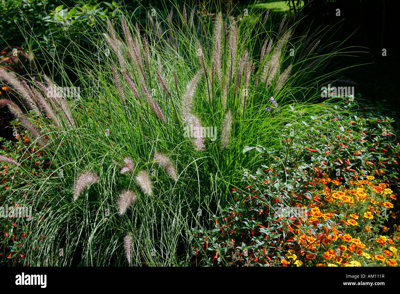 chinese fountain grass pennisetum alopecuroides. Black Bedroom Furniture Sets. Home Design Ideas