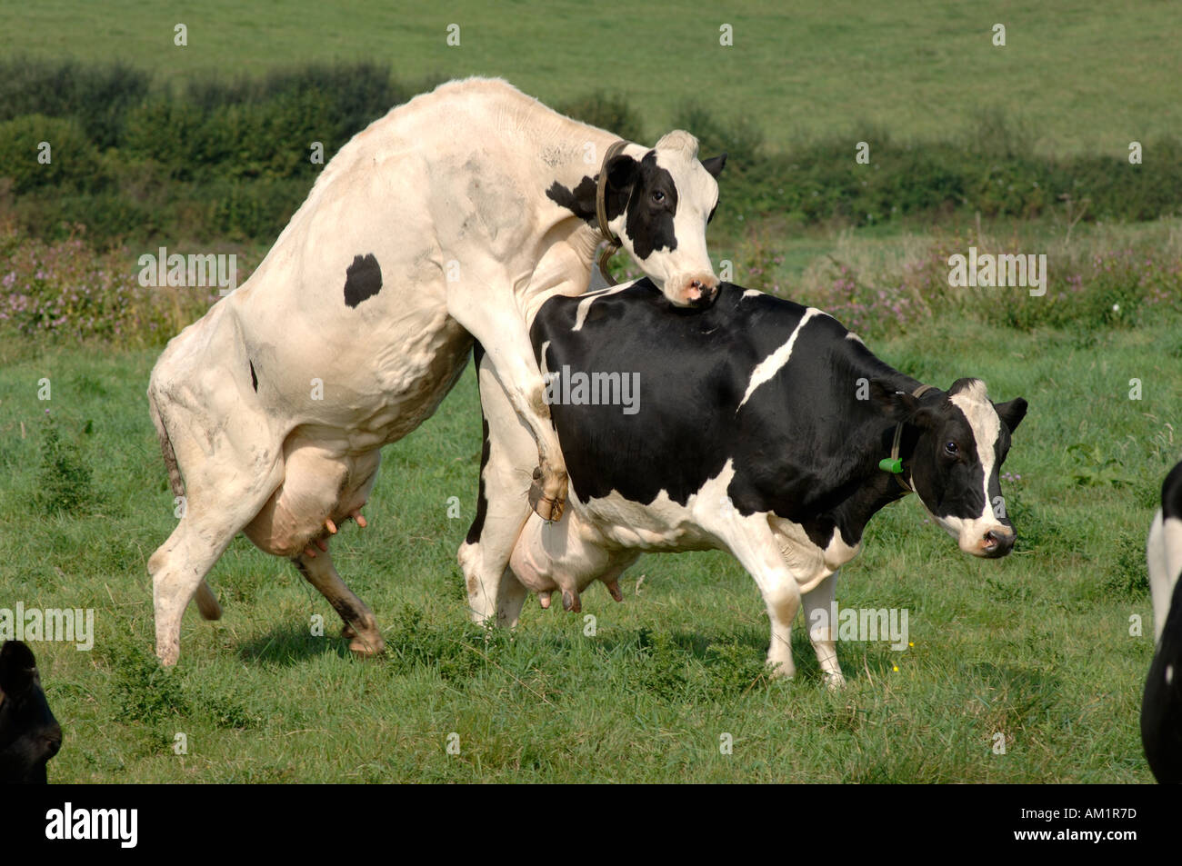 holstein friesian cows bulling devon stock photo royalty free