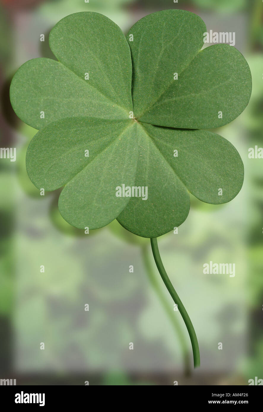 lucky four leaf clover close up stock photo royalty free image